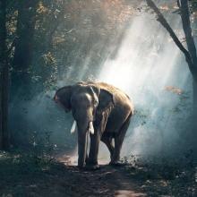 عکی با کیفیت فیل در جنگل